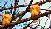 Red Tail Hawk Photo Photos - For Life by Michelle Milano