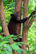 Black Bear Climbing Tree Posters - For the love of bears Poster by Deshagen Photography