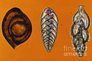 Foraminifera Lm Print by ER Degginger