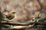 Woods Woodlands Posters - Forest Birds Winter Wren Poster by Christina Rollo