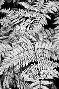 Forest Floor Posters - Forest Fern Poster by The Forests Edge Photography - Diane Sandoval