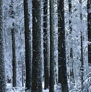 Bernard Jaubert - Forest in winter