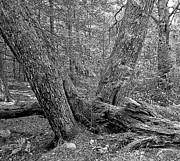 Forboding Prints - Forest Interior Ancient Trees Black and White Digital Art Print by A Gurmankin