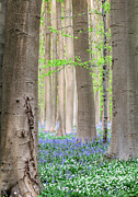 Bluebell Prints - Forest Spring Flowers  Print by Dirk Ercken