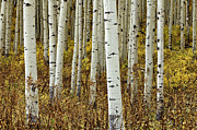 Aspens Prints - Forest Through The Trees Print by Stuart Gordon