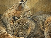 Bobcats Photo Prints - Forever Print by Teresa Schomig