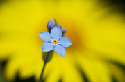 Close Up Floral Posters - Forget Me Not Flower Poster by Tim Gainey