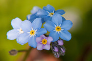 Matt Dobson Metal Prints - Forget-me-not Metal Print by Matt Dobson