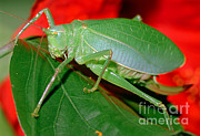 Fauna Metal Prints - Fork-tailed Bush Katydid Metal Print by Millard H. Sharp