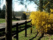 Forsythia Photos - Forsythia Along the Highway by Kip DeVore
