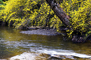 Birch River Prints - Forsythia Birch River Print by Thomas R Fletcher
