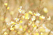 Forsythia Photos - Forsythia by Kim Fearheiley