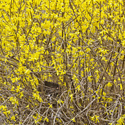Alan L Graham - Forsythia Nest