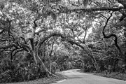 Fort Clinch Live Oaks Print by Dawna  Moore Photography