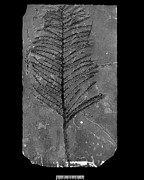 Science Photo Library - Fossil conifer
