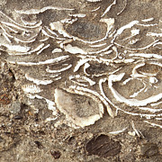 Author And Photographer Laura Wrede Posters - Fossils Layered in Sand and Rock Poster by Author and Photographer Laura Wrede