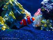 Clown Fish Photos - Found by Carmen Rosario