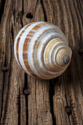 Rusty Nail Posters - Found Sea Shell Poster by Garry Gay