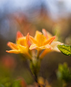 Rhodies Prints - Fountain of Gold Print by Mike Reid