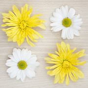 Asteraceae Prints - Four Print by Anne Gilbert