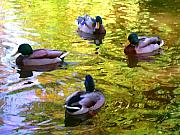 Duck Pond Posters - Four Ducks on Pond Poster by Amy Vangsgard