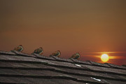Rooftop Prints - Four Fine Feathered Friends Print by Tom York