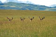 Rocky Mountain Foothills Framed Prints - Four Mule Deer Bucks, Rockies Framed Print by Steve Short