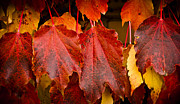 Vivid Fall Colors Framed Prints - Four of a Kind Framed Print by Christi Kraft