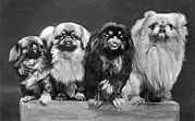 Pekingese Framed Prints - Four Pekingese On A Box Framed Print by Underwood Archives