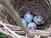 Four Red-winged Blackbird Eggs Print by J McCombie