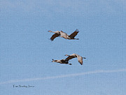 Tom Janca - Four Sand Hill Cranes...