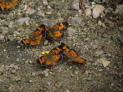 Checkerspot Art - Four Silvery Checkerspot by Eric Noa