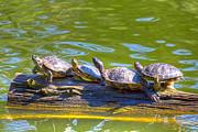 Kate Brown - Four Turtles