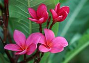 Sabrina L Ryan - Four Wet Plumeria Flowers