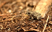 Country Scene Prints - Fowlers Toad at Trap Pond Print by Anna Lisa Yoder