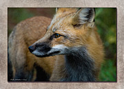 Wb Johnston Framed Prints - Fox 1 Framed Print by WB Johnston