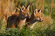 Furry Friends Framed Prints - Fox Cubs at Sunrise Framed Print by William Jobes