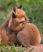 Fox Kits Framed Prints - Fox Cubs Cuddle Framed Print by William Jobes