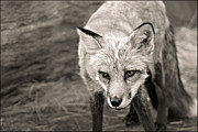 Jessica Barlow - Fox in black and White..