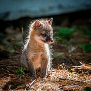 Fox Kit Print by Paul Freidlund