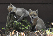 Fox Kit Siblings Print by RJ Martens