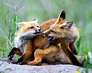 Fort Missoula Prints - Fox kits at play - an exercise in dominance Print by Merle Ann Loman