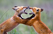 Pair Of Foxes At Play Posters - Fox kits Poster by Merle Ann Loman