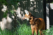 Washington Art - Fox - National Zoo - 01133 by DC Photographer