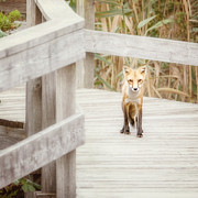 Long Island Framed Prints - Fox on the Boardwalk Framed Print by Vicki Jauron