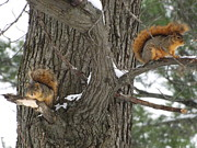 Dennis Pintoski - Fox Squirrels Perched