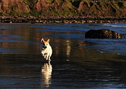 Little Dogs Photos - Fox Terrier At The Beech by Aidan Moran