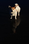 Little Dog Photos - Fox Terrier Reflection by Aidan Moran