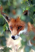 Canine Photos - Fox through trees by Tim Gainey