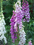 Foxglove Flowers Prints - Foxglove After The Rains Print by Eunice Miller